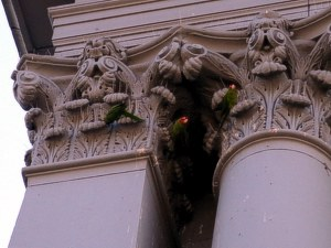 [Wild parrots in San Francisco.]